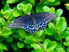 Black Swallowtail (Papilio polyxenes) (WRFred) Tags: butterfly insect maryland montgomerycounty washingtonwestquad nature wildlife backyardwildlife mbpready