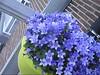 CLIP9234-028 (Rumskedi) Tags: monde世界 europa europe欧洲 belgië belgique belgien balcon campanule fauxbourdon