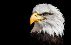 Portrait (rmikulec) Tags: bald eagle sony fe 100400 lens portrait eye raptor nature photography