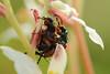 Beetles Romancing on a Sandbog Death Camas (stephaniepluscht) Tags: alabama 2017 foley death camas sandbag graham creek nature preserve zigadenus glaberrimus beetle beetles mating