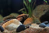 IMG_9883 (Laurent Lebois ©) Tags: laurentlebois france reptile rettile reptil рептилия tortue turtle tortoise tortuga tartaruga schildkröte черепаха chelonia sternotherus minor terrariophilie razorbackmuskturtle cinosterne