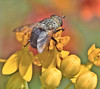 Just A Fly (Vidterry) Tags: fly butterflyweed