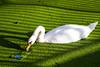 © Inge Hoogendoorn (ingehoogendoorn) Tags: zwaan zwanen swan swans green greenisbeautiful groen reflection reflectie spiegeling kroos lines lijnenspel