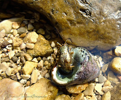 paguro (motonya) Tags: look eyes crustacean seashell shell water sea crab hermit paguro mare conchiglia crostaceo occhi sguardo