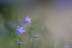 Wishes (Sarah Brigham) Tags: flower flowers floral fleur plant garden florist pretty beautiful nature natural dof depthoffield bokeh nikon nikond5200 wishes dreams dreamy soft focus purple lilac periwinkle wildflowers hazy smooth minimal minimalism simple
