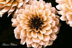 "Creative Edit - ""Vintage"" Dahlias - Rhs Wisley Gardens (Lauren Taliana) Tags: natura white beautiful outside british england wisley rhswisleygardens rhs garden cream creative closeup macro botanical plant nikkor nature natur vintage petals petal dahlia bloom fiore fleur flora floral flower flickr elements"