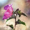 Hibiscus (mamietherese1) Tags: world100f phvalue magicunicornverybest