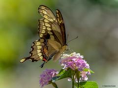 Torn and Tattered Beauty (Summerside90) Tags: insects butterflies giantswallowtail august summer lantana backyard garden nature wildlife ontario canada