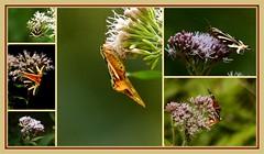 L'Ecaille chinée sous tous les angles (a.laruelle) Tags: papillon montage