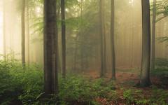 Eifel (Netsrak) Tags: baum eu europa europe landschaft natur nebel wald fog landscape mist nature tree trees woods eifel bäume rheinbach nordrheinwestfalen deutschland de
