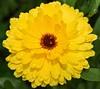 Garden Flowers (cascorn) Tags: raindrops languageofflowers