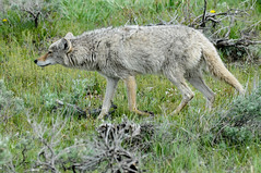 Brazen coyote (John Nefastis) Tags: yellowstone nationalpark national park green forest junction butte lamar valley coyote grin smile grinning smiling wildlife animal