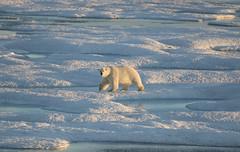 Canada. (richard.mcmanus.) Tags: canada arctic nunavut baffinisland polar polarbear ice animal wildlife mcmanus bear