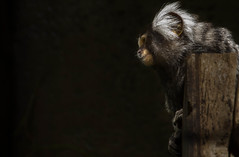 Into space (PaulJHopkins) Tags: monkey macaque negativespace dark staring