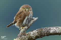 Another Great Shoot (Northern Pygmy Owl) (The Owl Man) Tags: