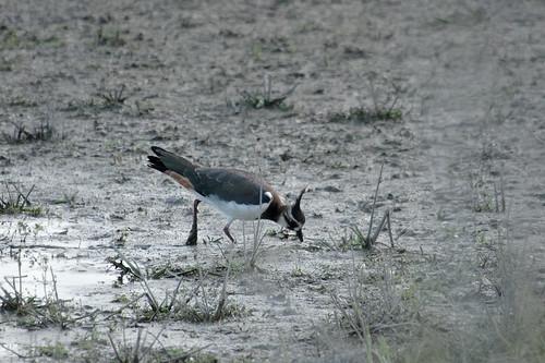 Oiseau des étangs