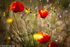 25042017-IMG_0558 (elteclas) Tags: 2017 valencia amapolas flores parquetecnológico