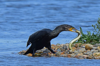 The Eel and the Cormorant