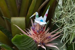 Paper Crane and Aechmea fasciata (Ichigo Miyama) Tags: ツルとエクメア・ファスキアタ papercrane pontederiacordata origami おりがみ ツル 折り紙 折り鶴 paper エクメア エクメア・ファスキアタ flowerorigami flower 花