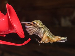 Landing Gear ((Jessica)) Tags: detail losangeles feathers remoteapp feeder hummingbird sonyrx100 wildlife wildlifewednesday nature california closeup topangacanyon playmemoriesmobile sony annashummingbird bird rx100 pointandshoot