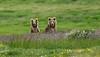 Himalayan brown bear (Zahoor-Salmi) Tags: zahoor salmi himalayan brown bear birds bbc beautiful wildlife wwf walpapers nature nikon