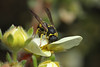Potter wasp looking for caterpillars #1 (Lord V) Tags: macro bug insect wasp potterwasp