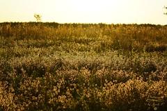 On the meadow... (Jurek.P) Tags: meadow light plants masuria mazury masurianlandscapes fields jurekp sonya77 poland polska