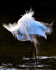 Snowy egret -Pose (dbking2162) Tags: bird birds nature nationalgeographic wildlife water wading heron egrets florida white beautiful fortmyersbeach