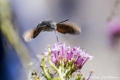 Humming Bird Hawk Moth (Ady Williams Photography) Tags: humming bird hawk moth rare eastbourne air show bug close up