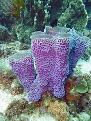 Scuba Diving (Fairyland, Soufriere), St. Lucia (Jun-2016) 04-036 (MistyTree Adventures) Tags: scubadiving caribbean stlucia soufriere panasoniclumix underwater sea water marine diving fairyland sponge barrelsponge