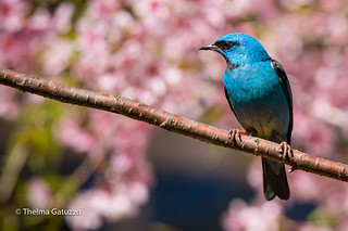 Dacnis Cayana (male) on a Cherry Tree