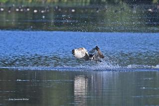 Fischadler ohne Beute - Fiskeørn uden fangst - Gråsten Slotssø
