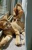 FUZZY (Doctor Beef) Tags: cat babycat bowie cornell kitten weeklythemefuzzy