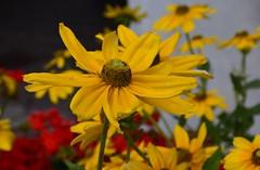giallo e rosso (OldGuz) Tags: oldguz italia italy altoadige bressanone brixen valleisarco fiori flowers platinumheartaward