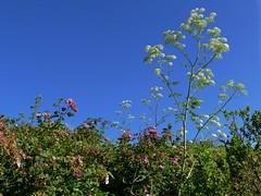 *Conium maculatum, POISON HEMLOCK and Rosa californica, CALIFORNIA WILD ROSE. (openspacer) Tags: apiaceae conium montereycounty nonnative poisonhemlock rosa rosaceae rose salinasrivernationalwildliferefuge