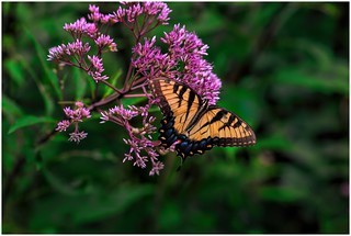 Giant Swallowtail Feasting On A Joe Pye Weed Blossom
