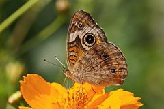 Junonia coenia (Jim Atkins Sr) Tags: junoniacoenia commonbuckeye buckeye butterfly northcarolina newbern tryonpalace sony sonya58 sonyphotographing coreopsis