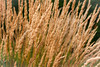 wheat close-up (wuestenigel) Tags: wheat closeup gold cereal grain outdoor nature noperson keineperson müsli rural ländlichen growth wachstum natur grass gras weizen pasture weide summer sommer bread brot outdoors drausen agriculture landwirtschaft crop ernte straw stroh farm bauernhof flora field feld countryside landschaft bright hell country land