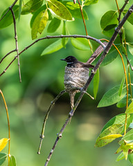 20170805-5D4_1119 (shutterblades) Tags: birds canon100400lmkii14tc canon5div fantails nesting nests pasirrispark