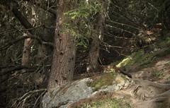 écureuil (bulbocode909) Tags: valais suisse grimentz valdanniviers forêts arbres écureuils nature montagnes rochers troncs sentiers cabanedesbecsdebosson