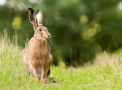 Brown Hare (Wouter's Wildlife Photography) Tags: brownhare hare animal mammal nature naturephotography wildlife wildlifephotography lepuseuropaeus pattedyr billund explore