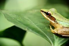 Looking ahead (tomquah) Tags: green frog nature macro closeup canon ef100mm eos5d tomquah