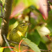 Paruline obscure - Tennessee Warbler (Nick288) Tags: parulineobscuretennesseewarbler