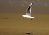 Slender-billed Gull (Chroicocephalus genei), adult summer (piazzi1969) Tags: larusgenei nature markii 7d ef100mm400mm eos canon dünnschnabelmöwe slenderbilledgull bandarabbas middleeast iran birds fauna avifauna wildlife möwen gulls elements chroicocephalusgenei