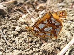 Butterfly 1438 (+780000 views!) Tags: butterfly borboleta farfalla mariposa papillon schmetterling فراشة