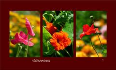 Vallmo&Krasse (evisdotter) Tags: vallmo krasse poppies nasturtium tropaeolum flowers blommor macro allpicssooc collage
