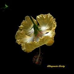 Hibisco/Hibiscus (Altagracia Aristy Sánchez) Tags: hibisco hibiscus cayena laromana repúblicadominicana dominicanrepublic caribe caribbean caraïbbi antillas antilles trópico tropic américa fujifilmfinepixhs10 fujifinepixhs10 fujihs10 altagraciaaristy fondonegro blackbackground sfondonero