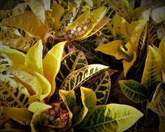 Crayola Colors (austexican718) Tags: tropical plant foliage vivid color croton garden container houseplant green yellow macro canon