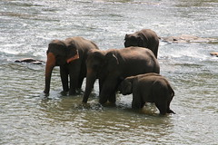 "Pinnawala Elephant Orphanage • <a style=""font-size:0.8em;"" href=""http://www.flickr.com/photos/152010771@N04/37025333595/"" target=""_blank"">View on Flickr</a>"