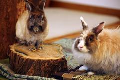 Castoro e Fiocco (Protty coniglio nano) Tags: conigli bunny bunnies rabbit rabbits kaninchen lapin coniglietti coniglionano prottyit coniglinani oryctolagus oryctolaguscuniculus